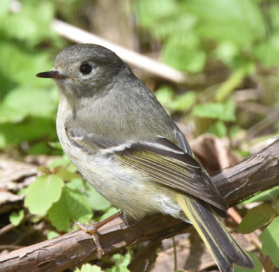 Photo of Ruby Crowned Kinglet Lakeside Pk Mississauga ON Canada 20170514 On NaturalCrooksDotCom