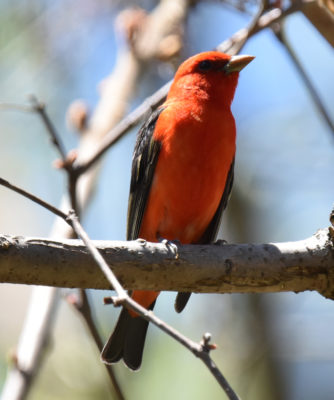 Photo of Scarlet Tanager Lakeside Pk Mississauga ON Canada 20170514 On NaturalCrooksDotCom