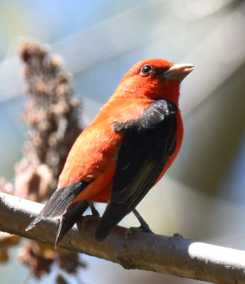 Photo of Scarlet Tanager alternate On NaturalCrooksDotCom