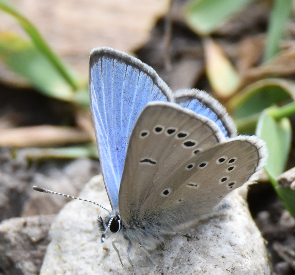 Photo of Silvery Blue RiverwoodConservancy MississaugaONCanada 20170528 on NaturalCrooksDotCom