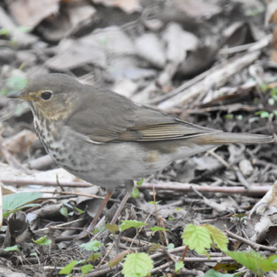 Photo of Swainsons Thrush Lakeside Pk Mississauga ON Canada 20170514 On NaturalCrooksDotCom
