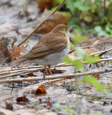 Photo of Thrush Puddle on NaturalCrooksDotCom