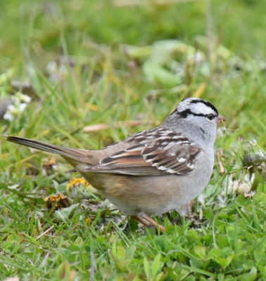 Photo of White Crowned Sparrow Lakeside Pk Mississauga ON Canada 20170514 On NaturalCrooksDotCom