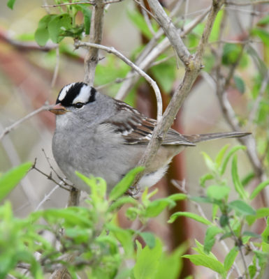 Photo of White Crowned Sparrow in Honeysuckle on NaturalCrooksDotCom