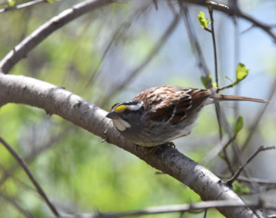 Photo of White Throated Sparrow Arched May 3 On NaturalCrooksDotCom