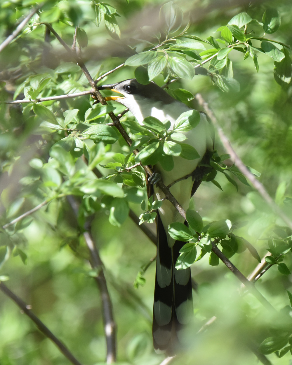 Photo of Yellow Billed Cuckoo Finding Food on NaturalCrooksDotCom