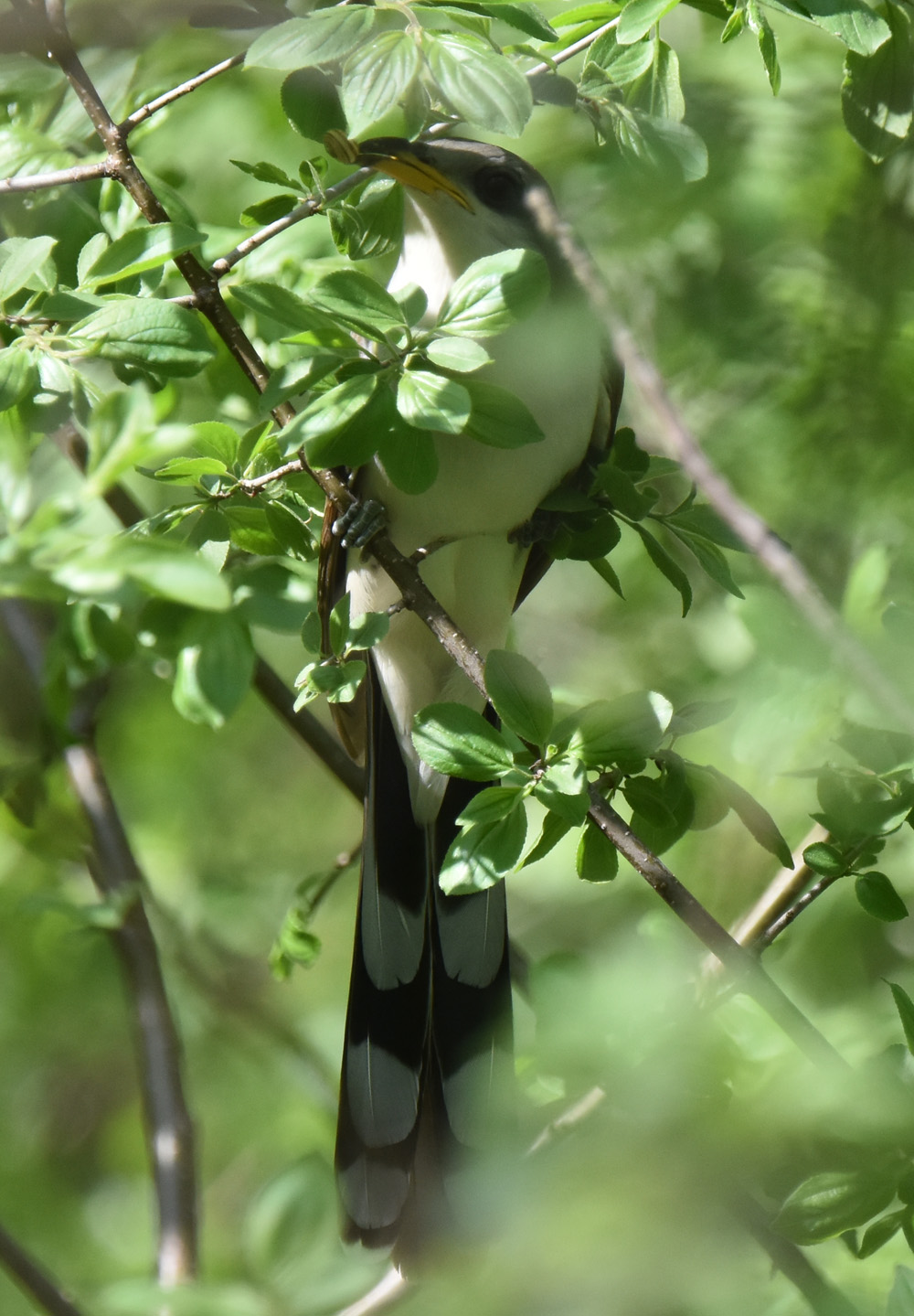 Photo of Yellow Billed Cuckoo Finding What on NaturalCrooksDotCom