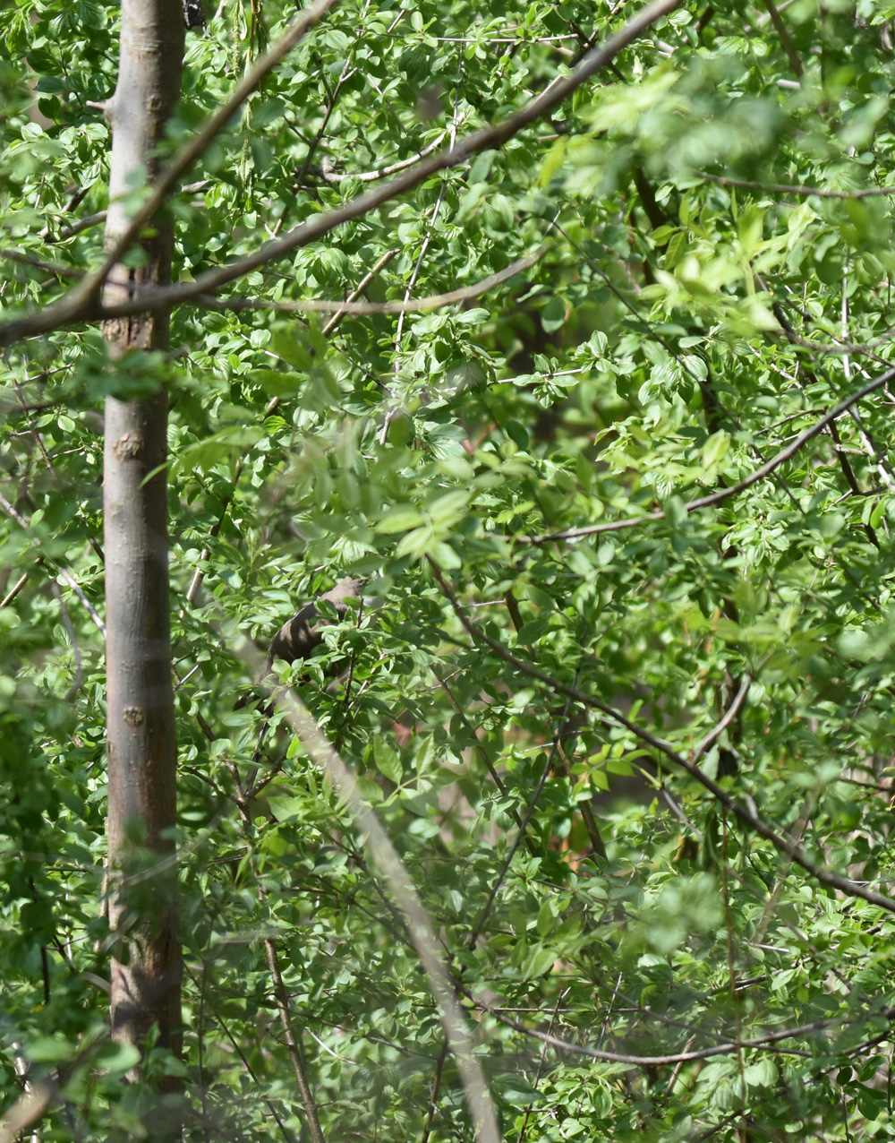 Photo of Yellow Billed Cuckoo hidden in Buckthorn on NaturalCrooksDotCom