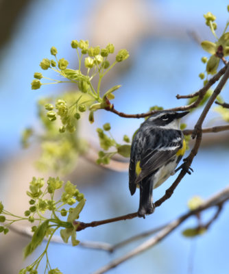 Photo of Yellow Rumped Warbler May 3 Maple Flowers on NaturalCrooksDotCom