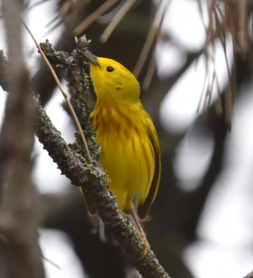 Photo of Yellow Warbler May 6 on NaturalCrooksDotCom