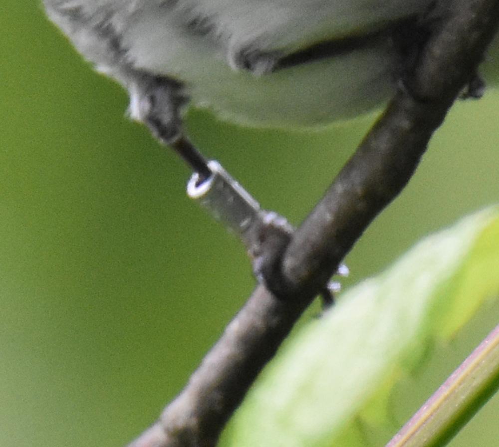 Photo of Blue Gray Gnatcatcher Band 1 On NaturalCrooksDotCom