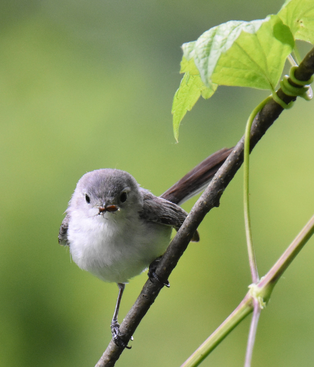 Photo of Blue Gray Gnatcatcher Bug 1 On NaturalCrooksDotCom