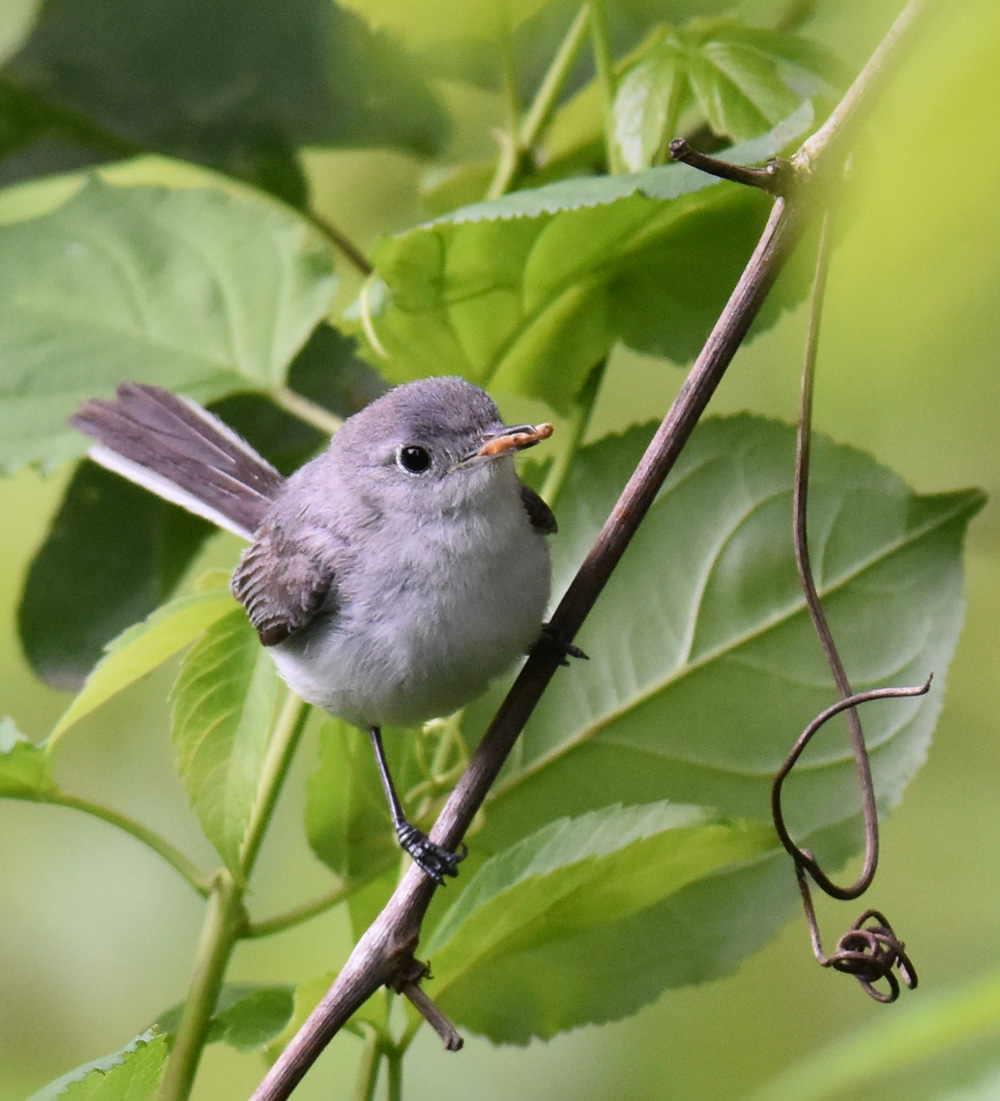 Photo of Blue Gray Gnatcatcher Bug 2 On NaturalCrooksDotCom