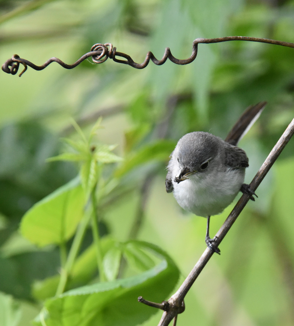 Photo of Blue Gray Gnatcatcher Bug 4 On NaturalCrooksDotCom