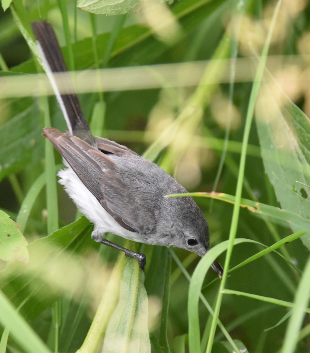 Photo of Blue Gray Gnatcatcher Hunting 2 On NaturalCrooksDotCom
