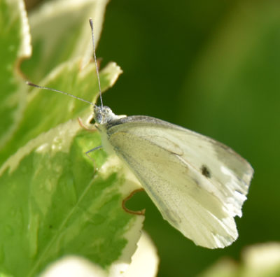 Photo of Cabbage White Riverwood on NaturalCrooksDotCom