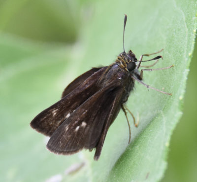 Photo of Dun Skipper Dark Spots B Riverwood on NaturalCrooksDotCom