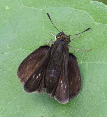 Photo of Dun Skipper Riverwood on NaturalCrooksDotCom