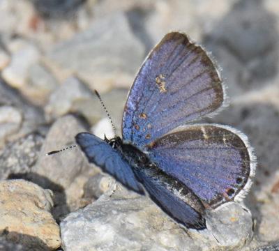 Photo of Eastern Tailed Blue Milton ON Canada 20170707 on NaturalCrooksDotCom