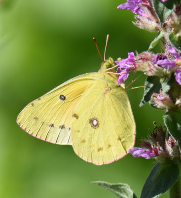 Photo of Orange Sulphur Riverwood on NaturalCrooksDotCom