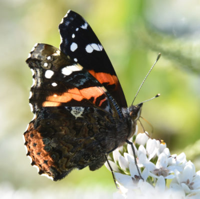 Photo of Red Admiral Riverwood on NaturalCrooksDotCom