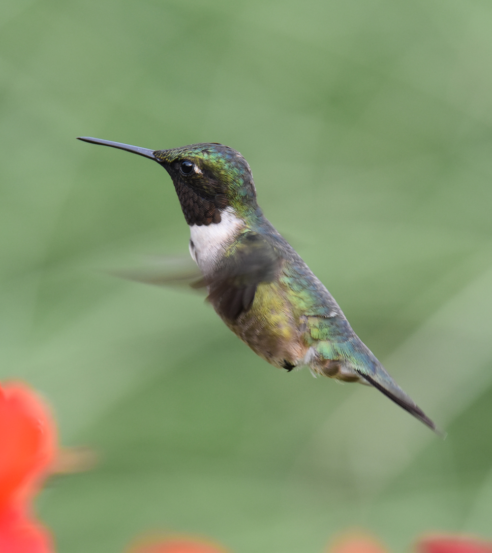 Photo of Ruby Throated Hummingbird Crocosmia Black 2 on NaturalCrooksDotCom