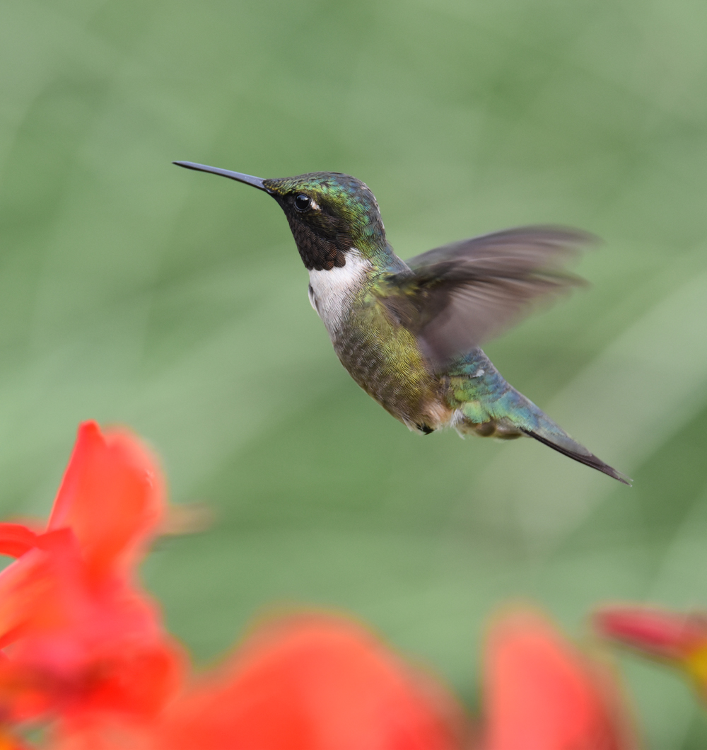 Photo of Ruby Throated Hummingbird Crocosmia Black on NaturalCrooksDotCom