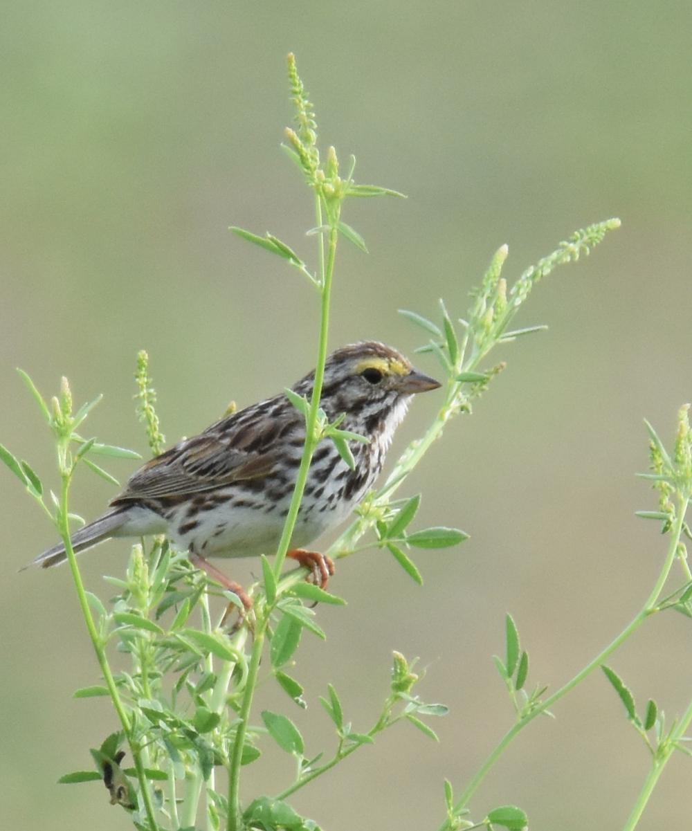 Photo of Savannah Sparrow White Sweet Clover Milton on NaturalCrooksDotCom
