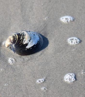 Photo of Bubbles Clam Crescent on NaturalCrooksDotCom