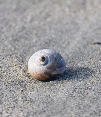 Photo of Moon Snail Crescent on NaturalCrooksDotCom