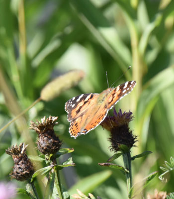 Photo of Painted Lady B Crescent on NaturalCrooksDotCom