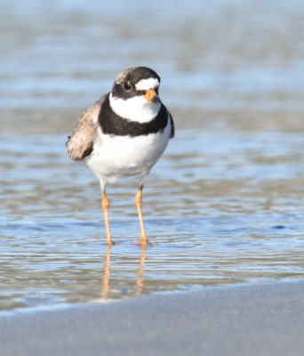 Photo of Semi Palmated Plover B Crescent on NaturalCrooksDotCom