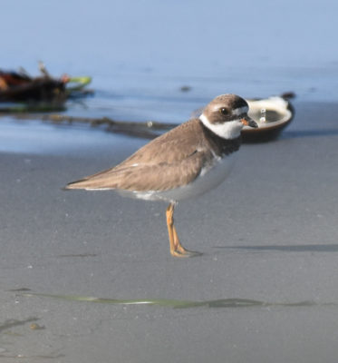 Photo of Semi Palmated Plover Crescent on NaturalCrooksDotCom