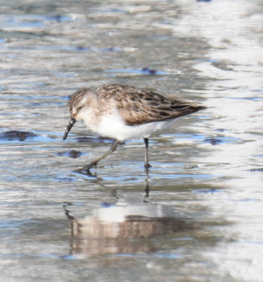 Photo of Shorebird Crescent on NaturalCrooksDotCom