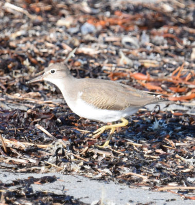 Photo of Spotted Sandpiper Crescent on NaturalCrooksDotCom