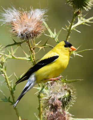 Photo of American Goldfinch on NaturalCrooksDotCom