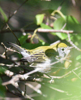 Photo of Chestnut Sided Warbler A on NaturalCrooksDotCom