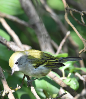 Photo of Chestnut Sided Warbler B on NaturalCrooksDotCom