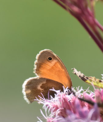 Photo of Common Ringlet on NaturalCrooksDotCom