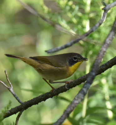 Photo of Common Yellowthroat On NaturalCrooksDotCom