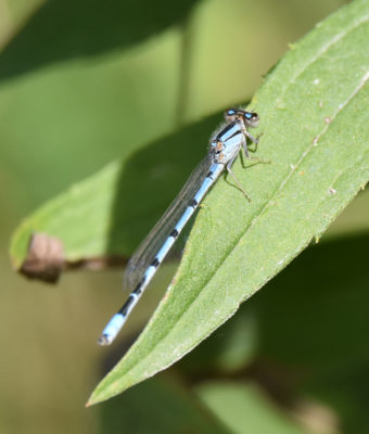 Photo of Damselfly A on NaturalCrooksDotCom