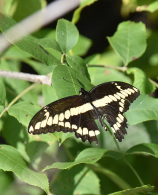 Photo of Giant Swallowtail on NaturalCrooksDotCom