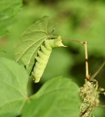 Photo of Lettered Sphinx Moth Found Riverwood Mississauga ON on NaturalCrooksDotCom