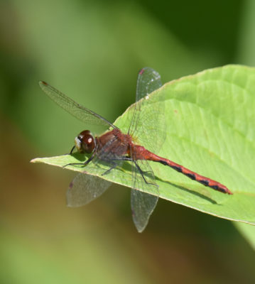 Photo of Meadowhawk on NaturalCrooksDotCom