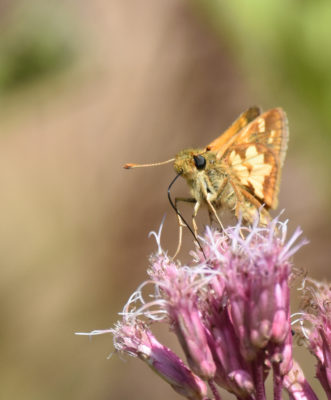 Photo of Pecks Skipper on NaturalCrooksDotCom