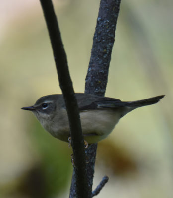 Photo of Black Throated Blue Female Oct 1 on NaturalCrooksDotCom