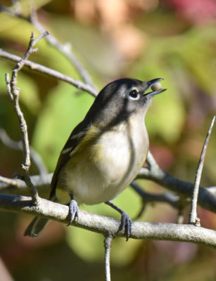 Photo of Blue Headed Vireo Dogwood on NaturalCrooksDotCom