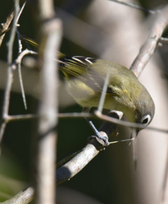 Photo of Blue Headed Vireo Insect Stretchy on NaturalCrooksDotCom