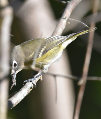 Photo of Blue Headed Vireo Insect on NaturalCrooksDotCom