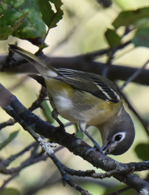Photo of Blue Headed Vireo Red Food 2 on NaturalCrooksDotCom
